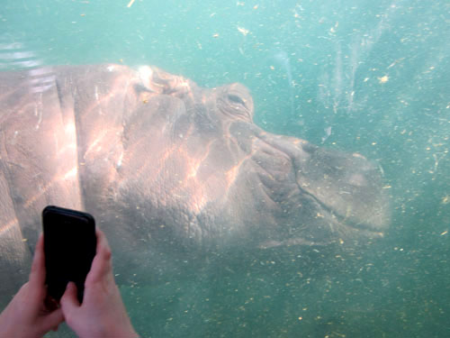 Hippopotamus in a tank at the St. Louis Zoo